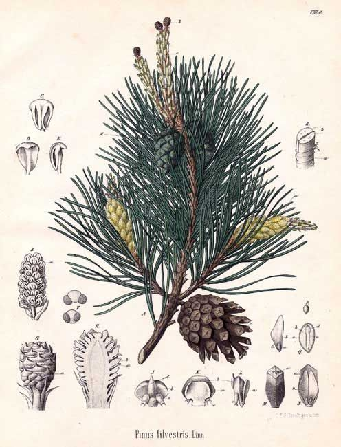 Scotch Pine (Pinus Sylvestris) is a tall evergreen grown at Young ...