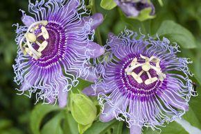 Wann die Passionsblume winterhart ist - Sorten, Standort und Pflege