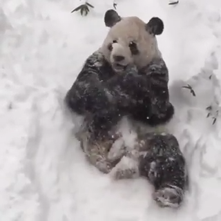 Panda Loving The Snow  #babypandas