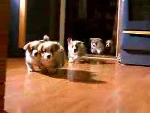 Watch 13 Puppy Stampedes Pembroke Welsh Corgi Puppies Corgi