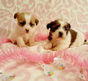 Shih Tzu mixed puppies in 2020 (With images) Free