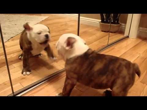 Dad Caught Baby Bulldog Doing This In Front Of The Mirror For The