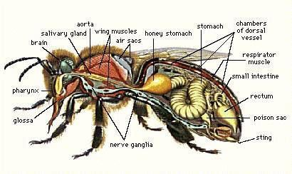 Hornet Anatomy Diagram Mitsubishi Triton Radio Wiring Honey Bee Body Parts Identification Insects Plants Keeping