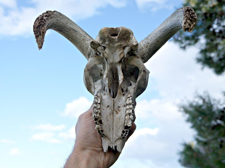 sheep skull bottom broken horns horns reference pinterest