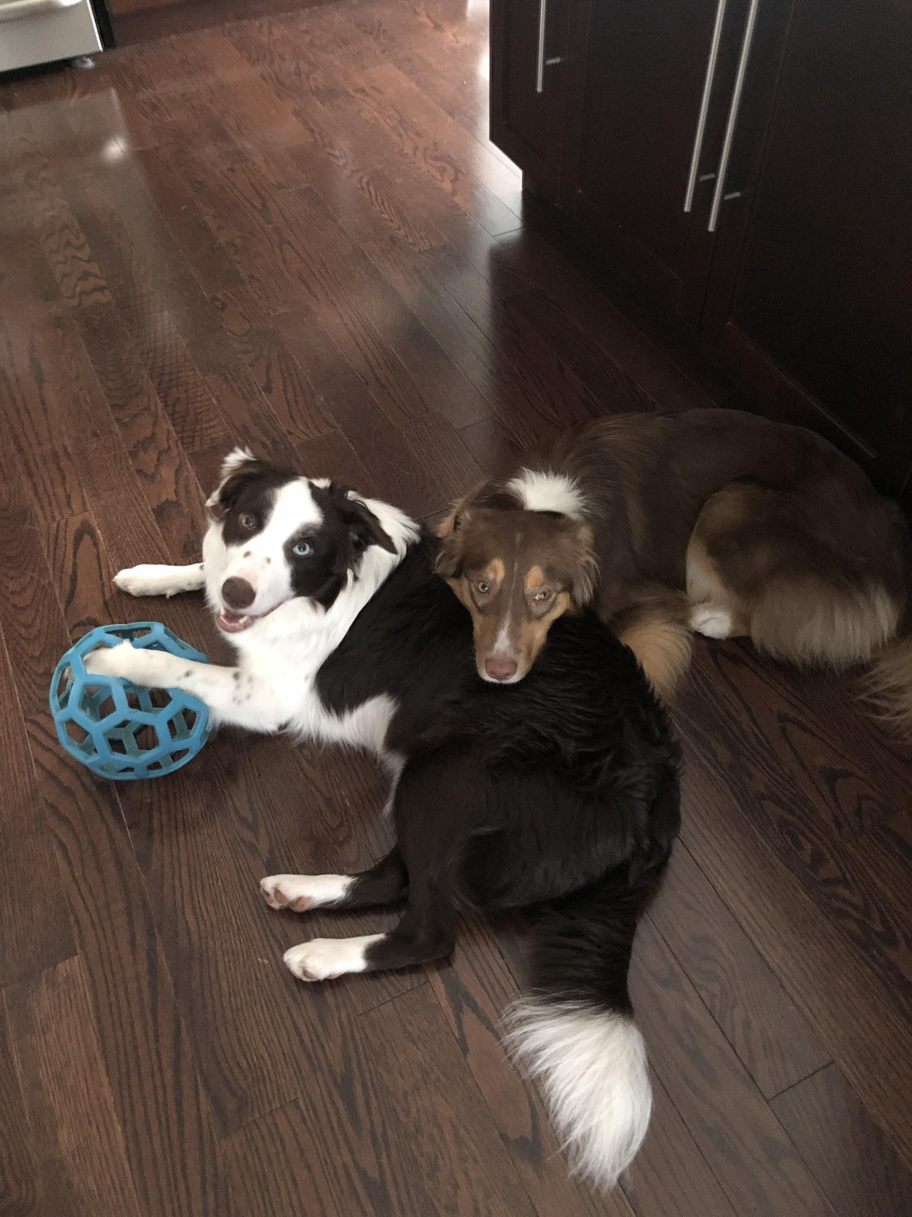 Our Border Collie Comforting Our Sick Aussie So Precious