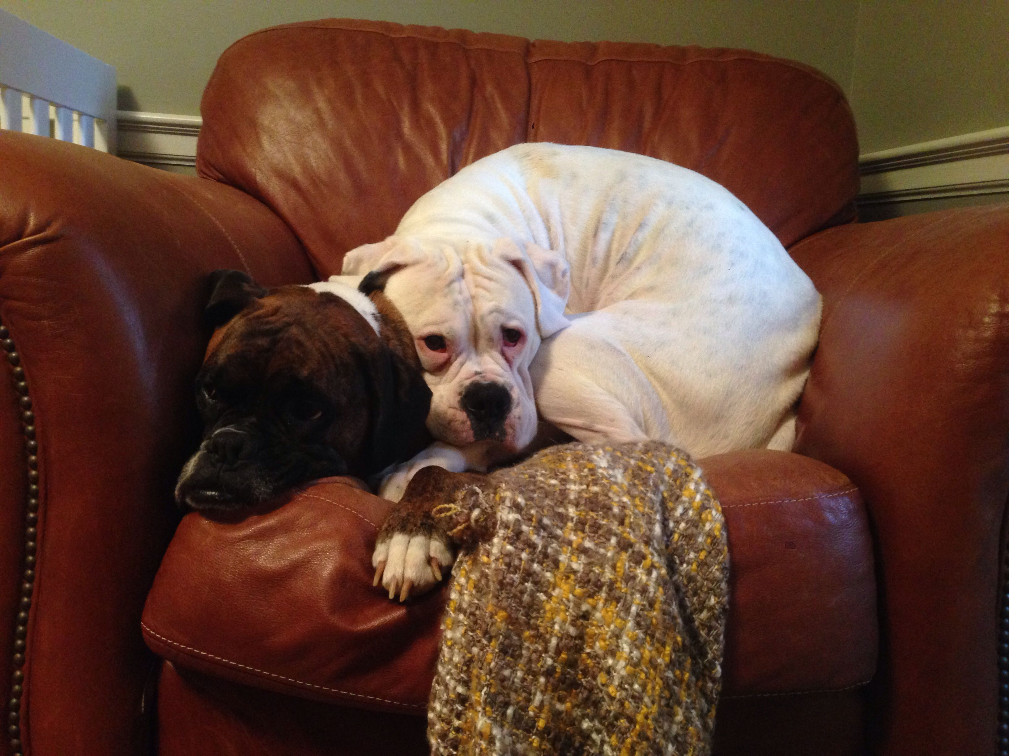 Sweet Pea doesn't like to be away from Phoebe! #boxerlove #instaboxer #sweetpeaboxer #whiteboxer