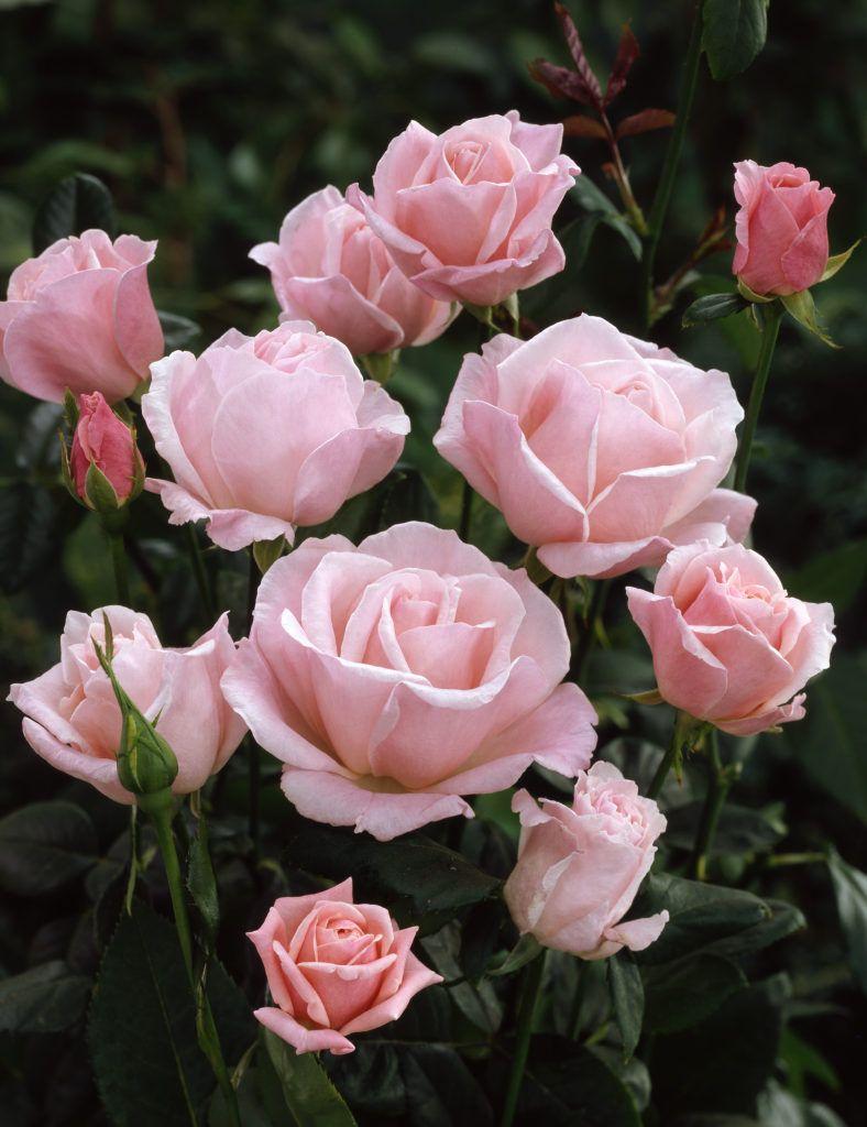 Rose queen elizabeth rosa queen elizabeth plants flowers rose queen elizabeth rosa queen elizabeth plants flowers 99roots my very favorite izmirmasajfo