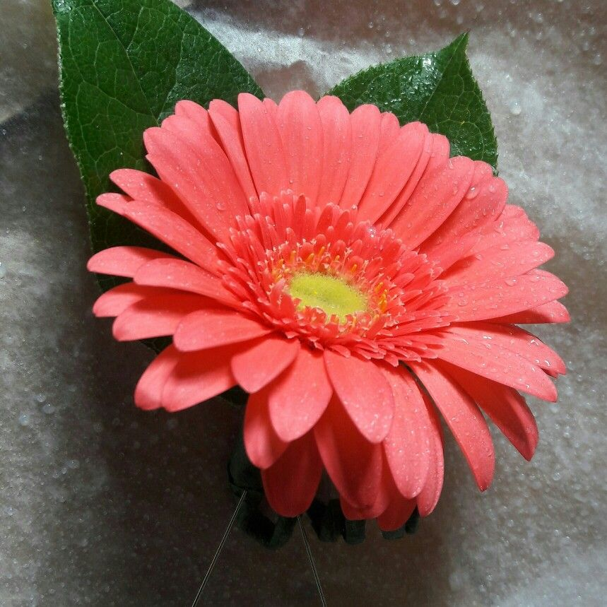 Coral Mini Gerbera Daisy Boutonniere With Images Gerbera