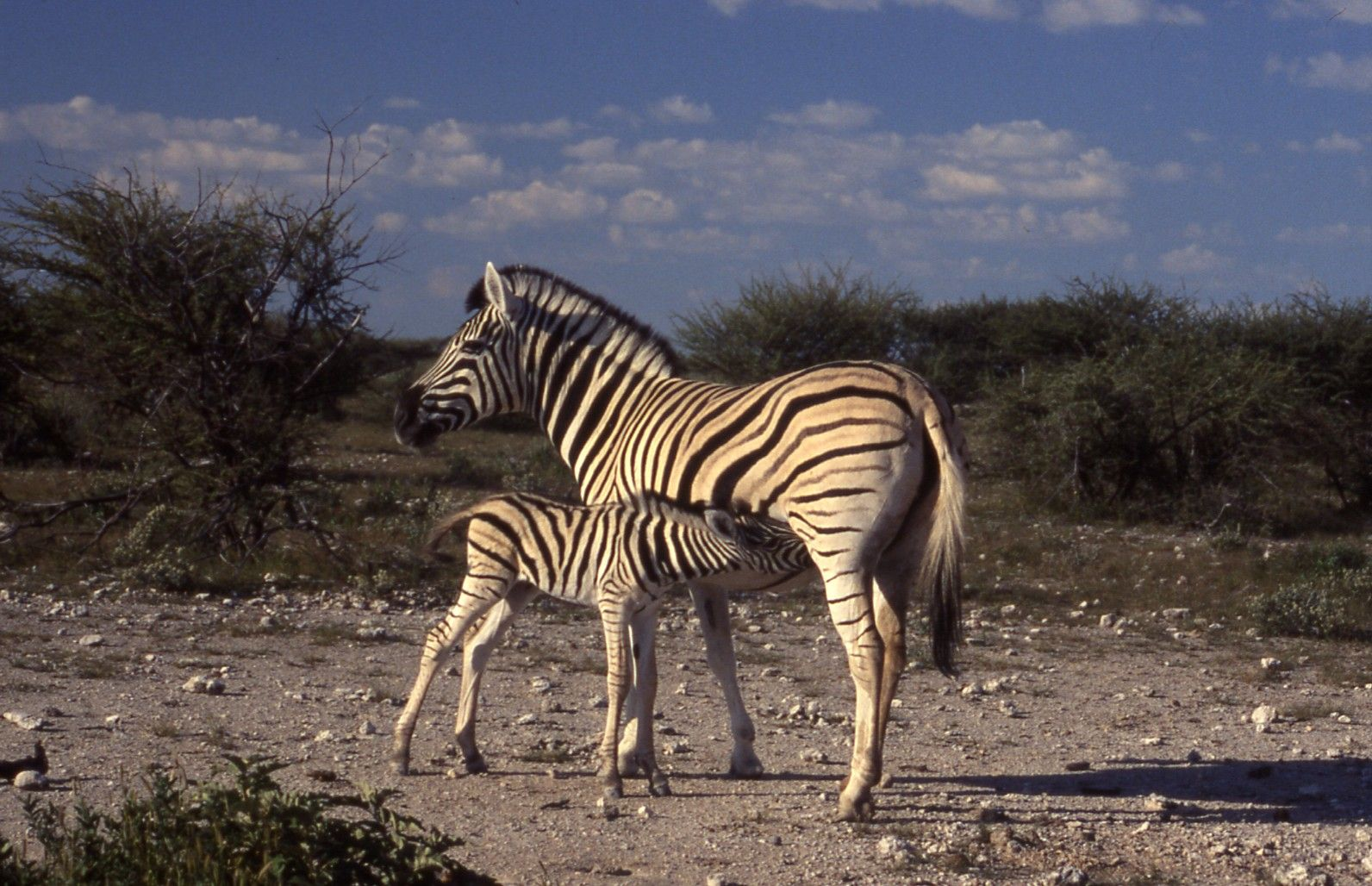 Zebra and fola in Etosha, the first animals I saw when I entered into the park.