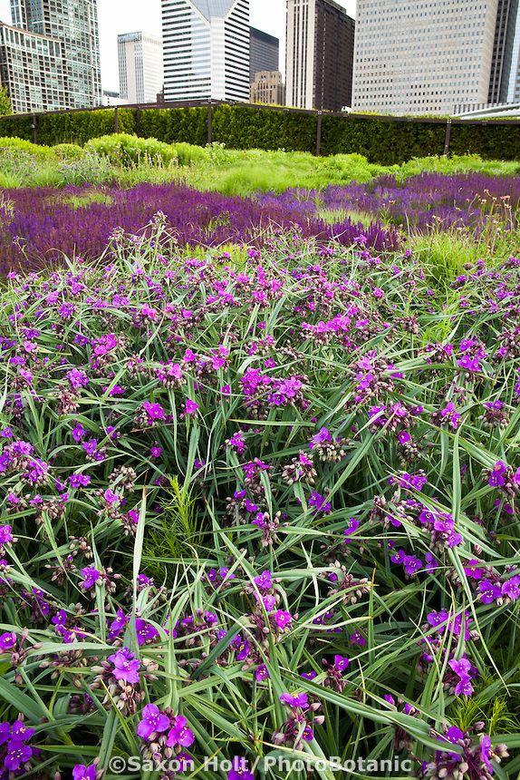 Purple Flower Perennial Spiderwort Tradescantia Concord Grape In