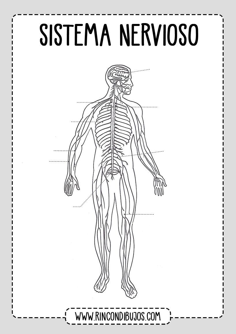 Partes Del Sistema Nervioso Para Rellenar Rincon Dibujos Sistema Nervioso Dibujo Del Sistema Nervioso Partes Del Sistema Nervioso