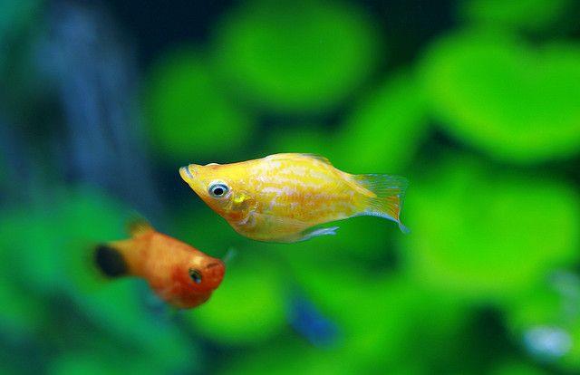 Best Friend Freshwater Aquarium Fish Aquarium Fish Molly Fish