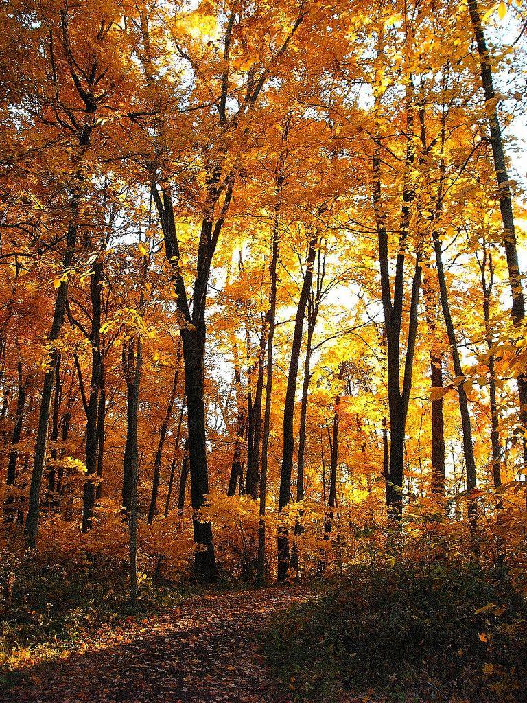 Golden maples