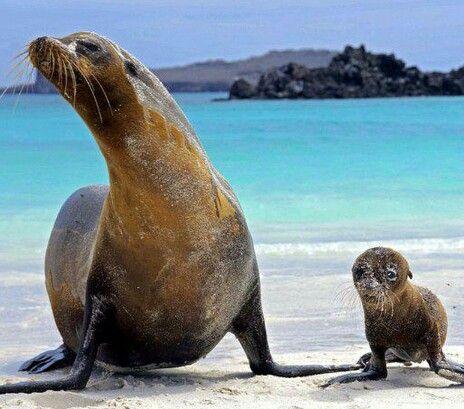 Mama Foca Galapagos Sea Lion Animals Galapagos