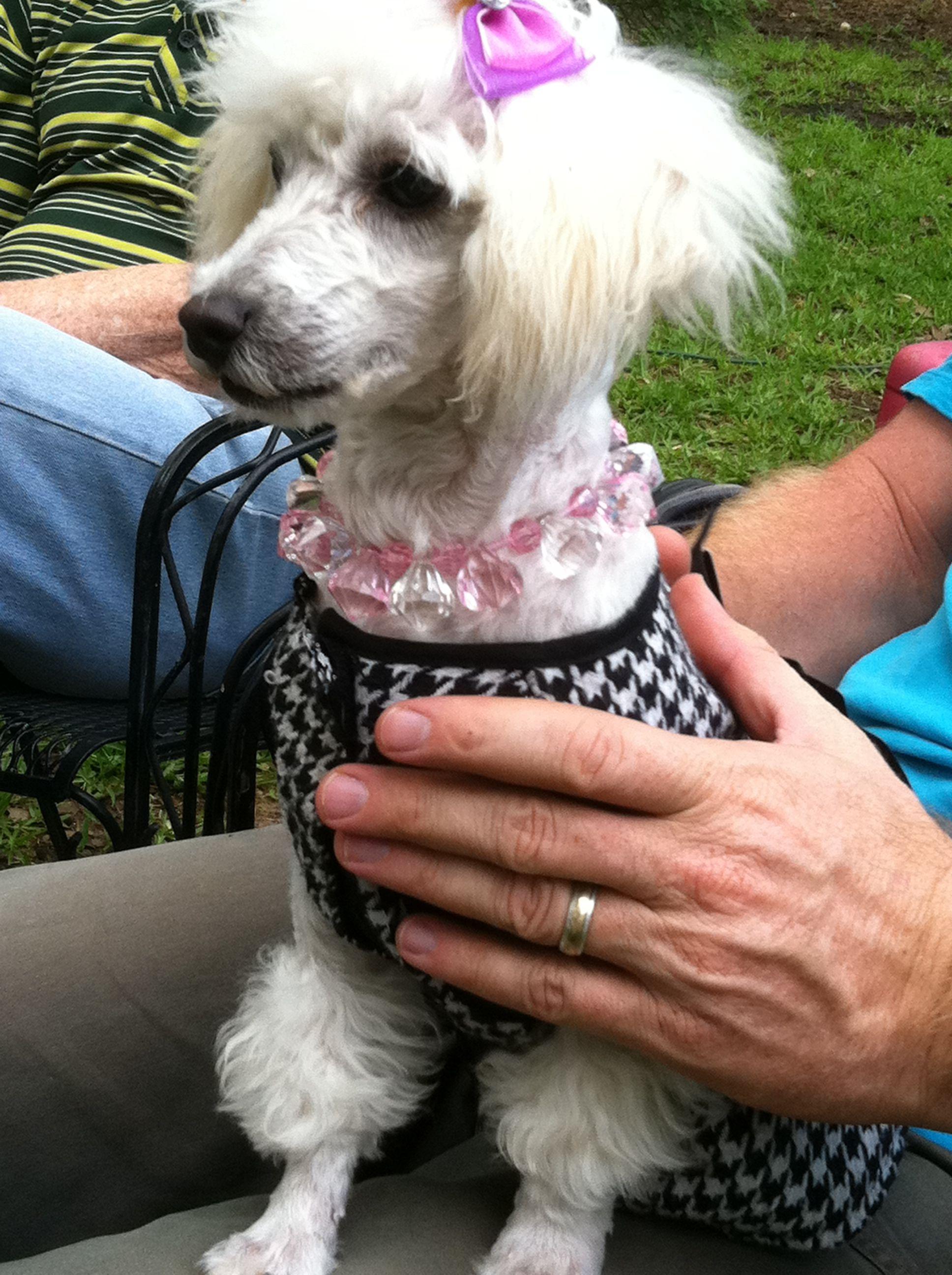 Glamorous Poodle