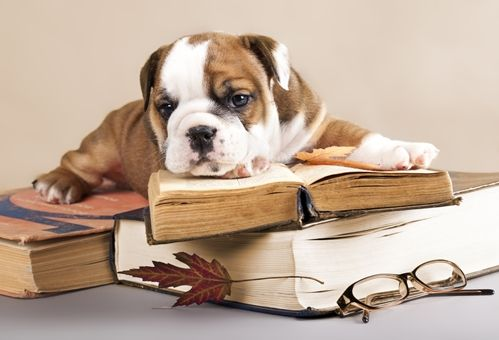Therapy Dogs Relax Stressed Out Students English Bulldog Puppy