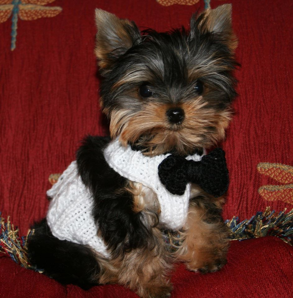 Teacup maltipoo puppies for sale in michigan