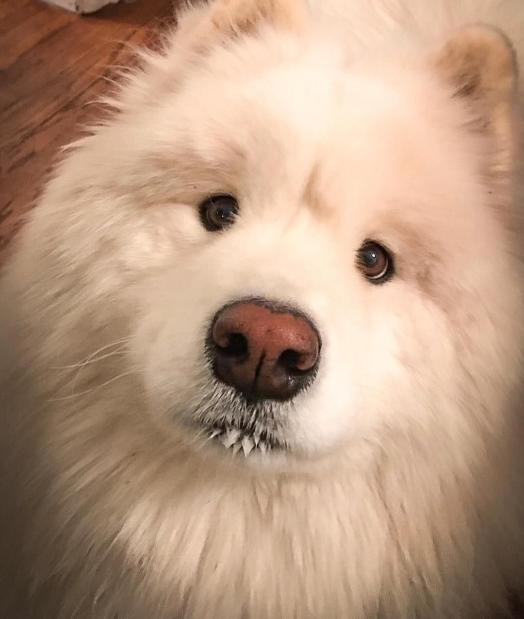 Ryder The Samoyed On Instagram Could Use Boops Samoyed Cute