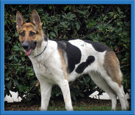German Shepherd Dog Named Mixie At Coastal Gs Rescue Of Southern