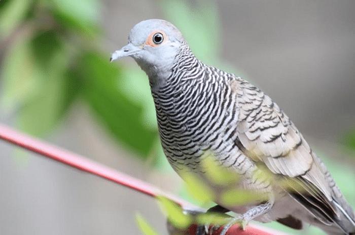 Begini Cara Beternak Perkutut Lokal Paling Efektif Burung Gambar Hewan Hewan