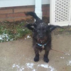Sarah Is An Adoptable Scottish Terrier Scottie Dog In Cleveland