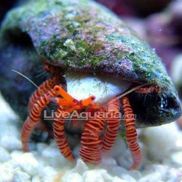 Halloween Hermit Crab Marine Animals Salt Water Fish Saltwater Aquarium