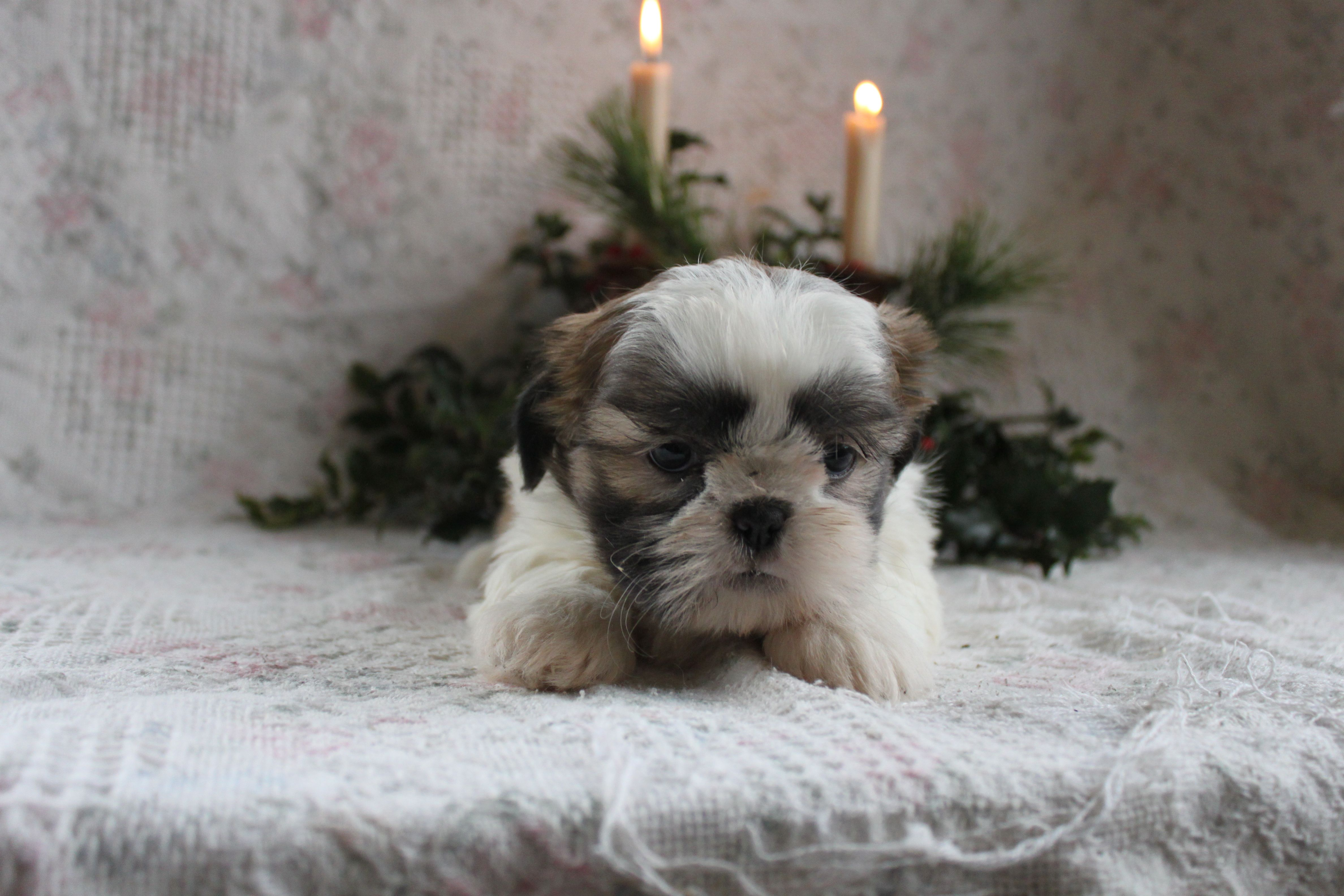 Cockapoo puppies for sale at http://www.clearlyinternet.com
