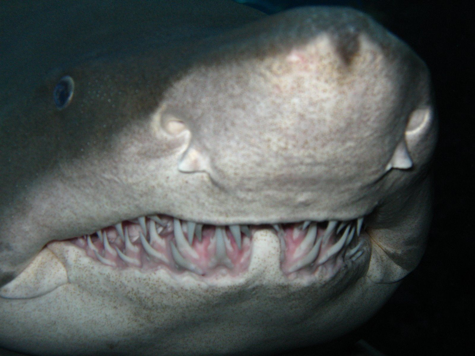 Sand tiger shark information amp pictures of sand tiger sharks - Creepy Real Creatures Real Scary Shark Pictures 15630 Hd Wallpapers