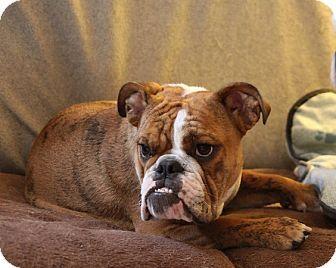 Elphie Wants Merlin Elphie Shop English Bulldogs For Adoption