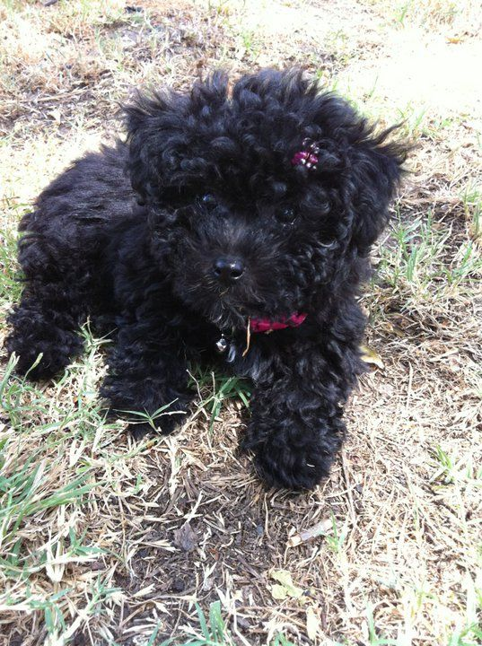 Mix Breed Maltipoo Seriously This Looks Like My Cosmo Lol