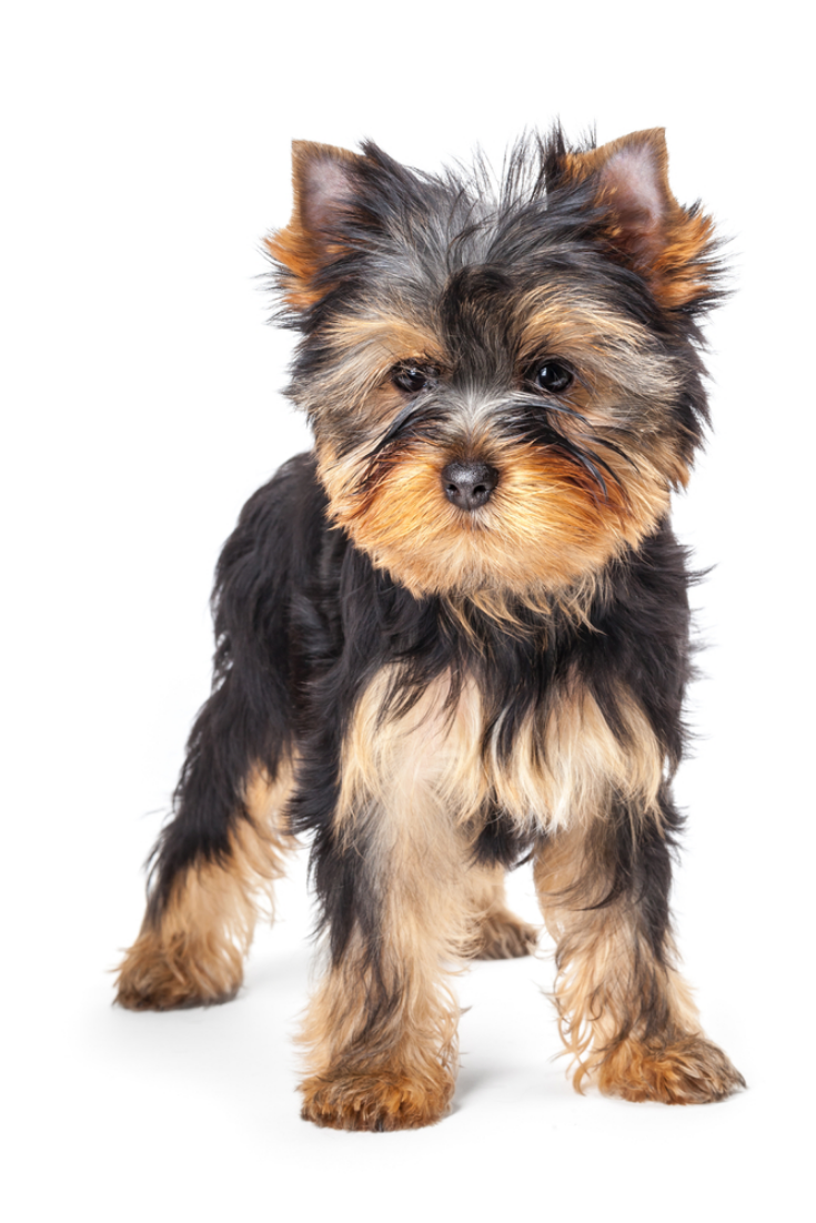 Yorkshire Terrier Puppy Isolated On White Background Yorkshireterrier Yorkshire Terrier Puppies Yorkshire Terrier Terrier Puppy