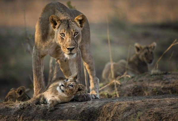 9 breathtaking shots from Sir David Attenborough-narrated nature series The Hunt http://trendingtalks.com/9-breathtaking-shots-from-sir-david-attenborough-narrated-nature-series-the-hunt/