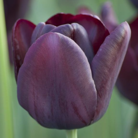 Image result for Tulipa 'Queen of Night