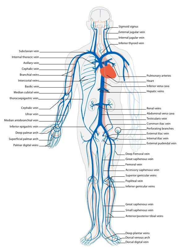 Peripheral Vascular | Venous Anatomy | Interventional Cardiologist ...