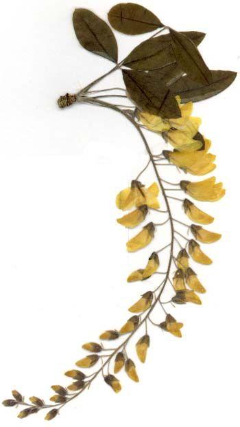 Herbier Feuilles | Toutes les parties du«cytise» sont toxiques, mais ce sont surtout ...
