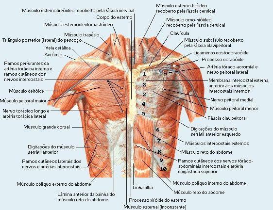 musculos-tronco | ANATOMIA | Pinterest | Músculos, Troncos y Sistema ...