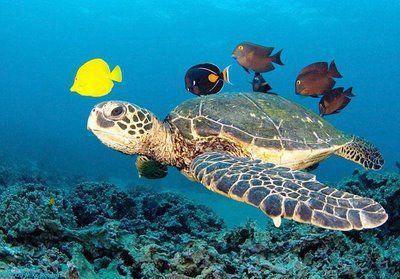 Tartaruga marinha animais letra t pinterest for Tartarughe di mare domestiche
