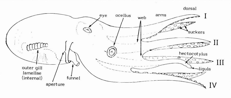 Schematic Lateral Aspect Of Octopod Features