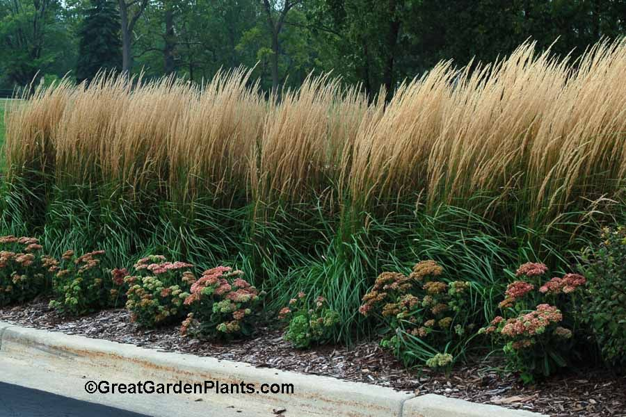 Calamagrostis karl foerester if you are looking for a an for Easy to grow ornamental grasses