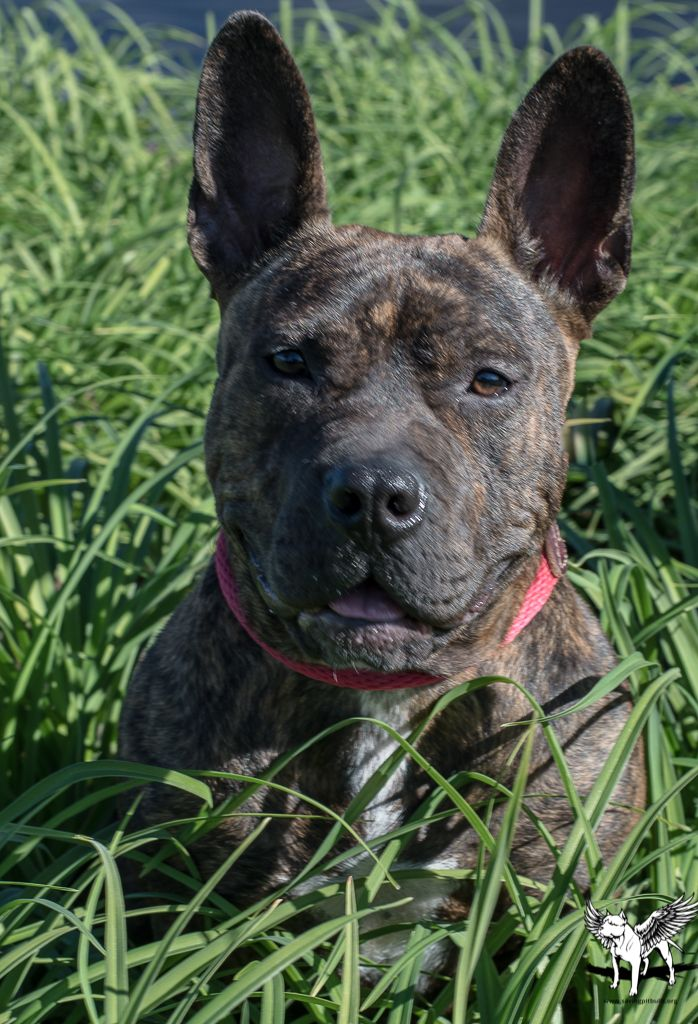 AdoptaBulls (With images) Pitbull rescue