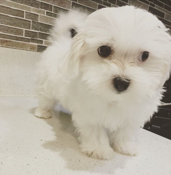 Maltese Puppy For Sale In Los Angeles Ca Adn 40152 On Puppyfinder Com Gender Male Age 10 Weeks Old Maltese Puppies For Sale Puppies For Sale Maltese Puppy