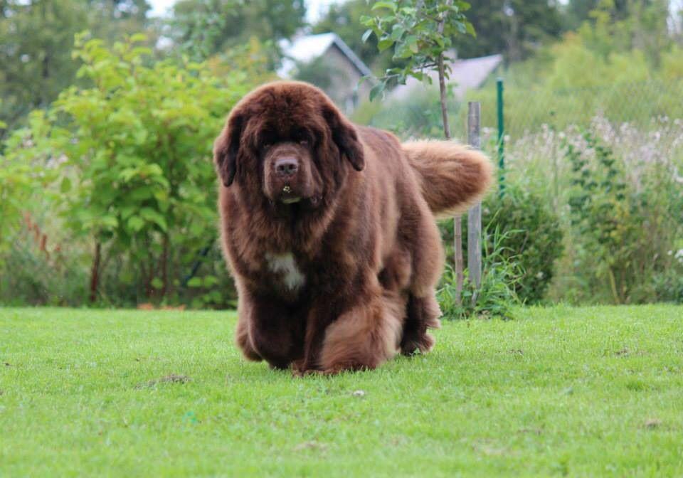 Beautiful big brown Newf from Estonia Newfoundland dog