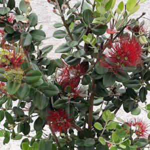 Tienda Online Vivero De Plantas Plantas En Maceta Arbustos De Hoja Perenne
