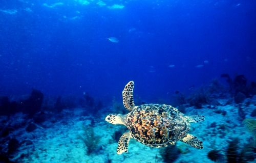 Western Dry Rocks Perfect Key West Diving Or Snorkeling With Images Sea Turtle Pictures Sea Turtle Facts Sea Turtle