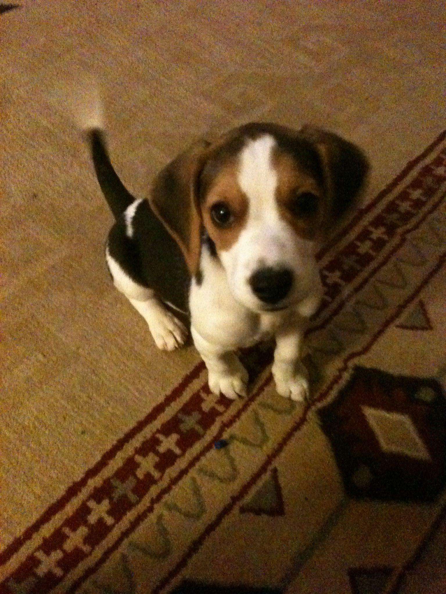 Beagle Puppy I Love Beagles Beagle Puppy Beagle Puppies