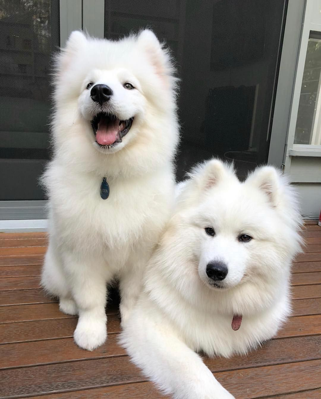 Everything You Want To Know About Samoyed Samoyed Dogs Samoyed