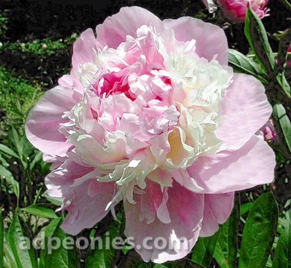 Chestine Gowdy Peony 1913 Heirloom I Love Peonies Flower Images Peony Meaning Peonies