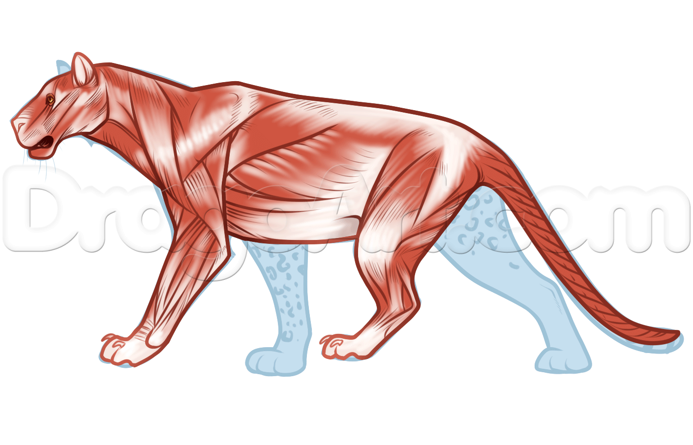 hight resolution of leopard anatomy drawing step 3