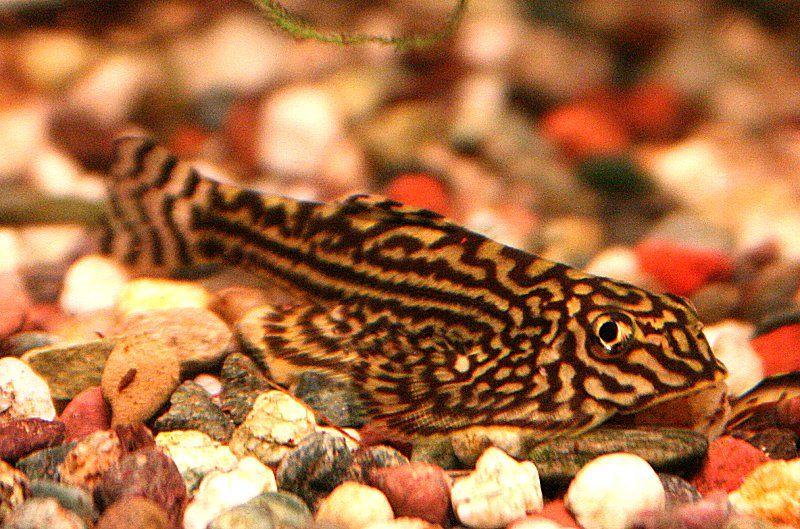 Plecoplanet Photoplog Tiger Hillstream Loach Saltwater Aquarium Fish Aquarium Fish Fresh Water Fish Tank