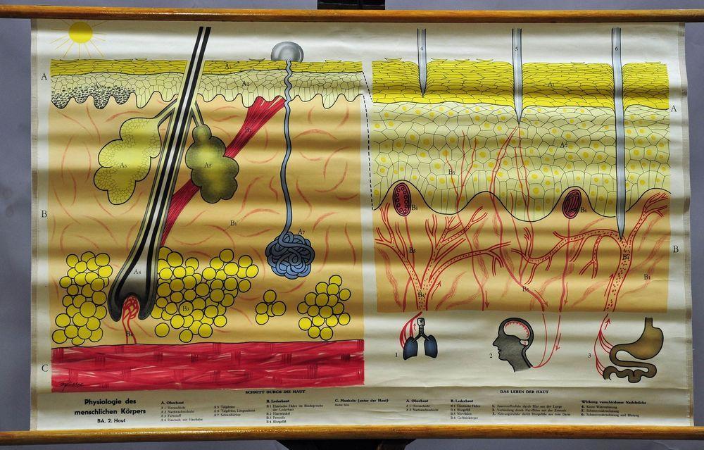vintage wall chart poster, medicine, anatomy, physiology, human ...